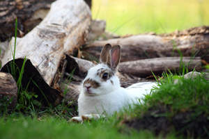 A New Zealand rabbit lying down with it's ears perked