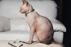 A happy Sphynx cat sitting