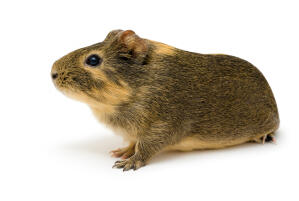 An Agouti Guinea Pig's thick fur and long nose