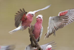 Two beautiful Rose Breasted Galah