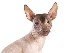 The iconic face of a mexican hairless