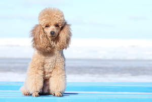 An adult Miniature Poodle's lovely, fluffy ears