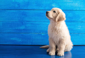 A lovely, little Golden Retriever puppy sitting beautifully