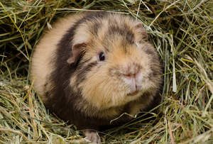 A close up of a Teddy Guinea Pig's beautiful little nose and mouth
