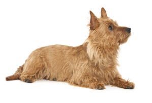 A gorgeous little australian terrier lying down waiting for a command