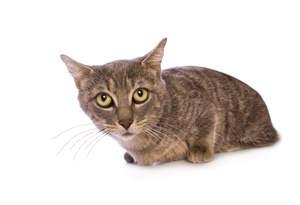 A Munchkin cat lying down