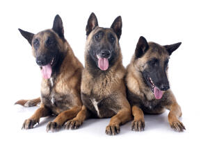 Three Belgian Malinois thoroughly enjoying each others company
