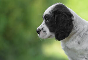 A close up of a wonderful, little English Setter pup's head