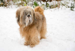 A Tibetan Terrier with a beautiful, long fringe playing in the snow