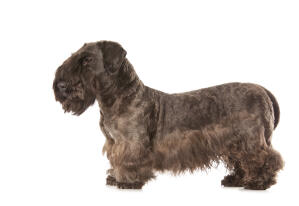 A Cesky Terrier showing off it's beautifully groomed coat