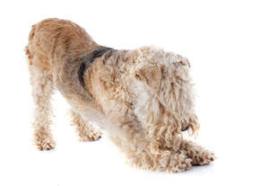 A Lakeland Terrier having a big stretch