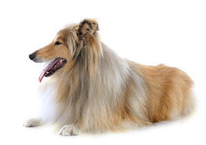 A lovely Collie with a long, soft, brown and white coat, panting