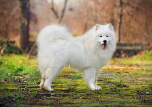 A Samoyed's lovely white coat and thick, bushy tail