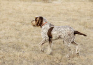 A Spinone Italiano showing off it's soft, wiry coat and pointed tail