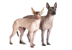 two mexican hairless dogs side by side looking inquisitive