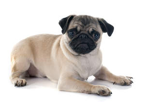 A lovely little Pug puppy lying ready to play