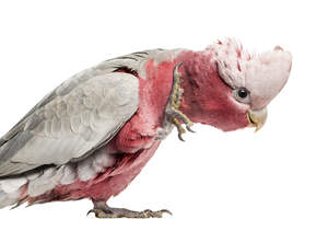 A close up of a Rose Breasted Galah