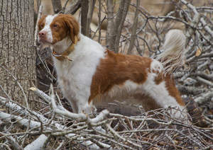 A healthy, adult Brittany, showing off it's beautiful long body, and big bushy tail