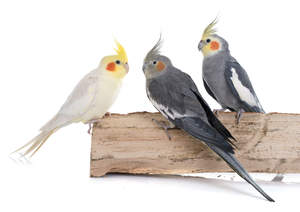 A white Cockatiel perched with two grey Cockatiels
