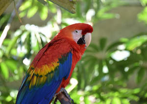 A Scarlet Macaw's incredibly bright colour pattern