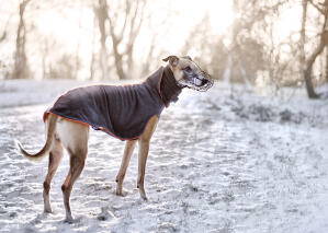 A healthy, adult Whippet enjoying a walk outside in the snow
