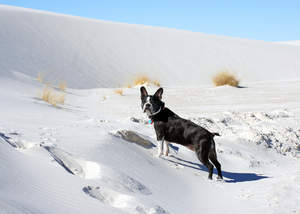 A beautiful, little Boston Terrier enjoying some exercise in the snow