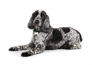 A black and white young adult English Cocker Spaniel with a well groomed coat