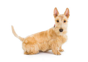 A blonde Scottish Terrier with a lovely, soft coat and swooping tail