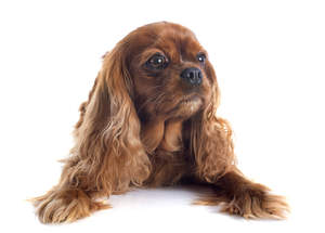 A young brown coated Cavalier King Charles Spaniel with beautiful soft coat