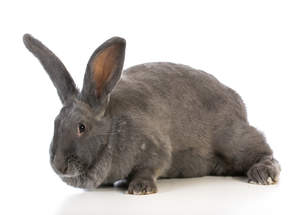 A Flemish Giant rabbit wonderful big ears and big feet