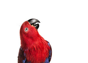 A close up of an Eclectus Parrot's beautiful eyes