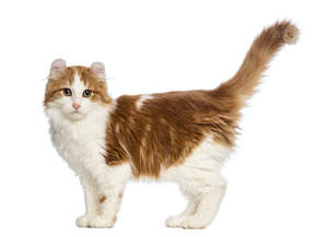 A beautiful bicolour american curl