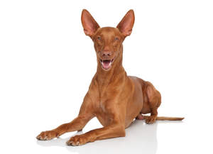An excited Pharaoh Hound, ears perked and ready to play