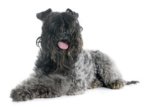 A young Kerry Blue Terrier panting after some needed exercise