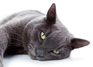 The angellic face of a Russian Blue