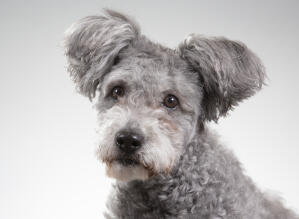 A Hungarian  Pumi with lovely bright eyes and fluffy ears