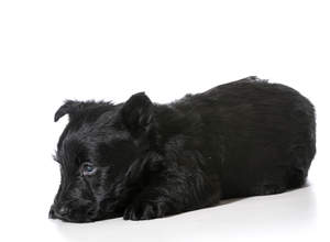 A gorgeous, little, black Scottish Terrier puppy resting on the floor