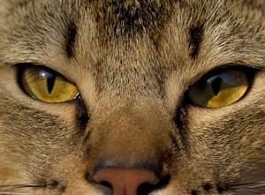 Pixie Bob | Cats | Informacje o rasie | Omlet
