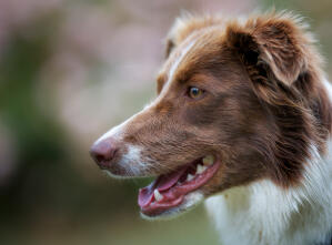 A close up of a Border Collie's beautiful long nose and soft, brown coat