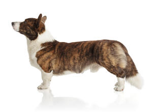 A healthy adult Cardigan Welsh Corgi, showing off it's beautiful, long body