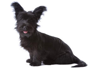 A black Skye Terrier with a beautifully groomed coat and neat beard