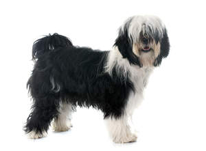 A Tibetan Terrier with a black and white coat, showing off it's long fringe and bushy tail