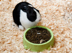 A beautiful white and black Dutch rabbit enjoying it's food