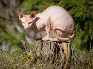An athletic sphynx cat