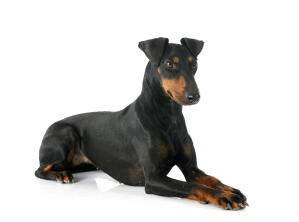 An adult Manchester Terrier lying down beautifully, with it's paws together