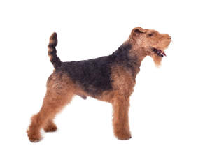 A male Welsh Terrier showing off it's beautiful short body and long legs