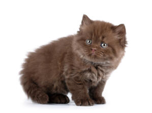 A little fluffball british longhair kitten