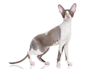 a cornish rex with large ears and long legs