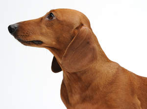 The typical long nose of beautiful, brown Dachshund