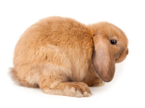 A Mini Lop rabbit with incredible long floopy ears